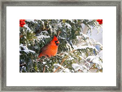 Male Northern Cardinal. Framed Print by Kelly Nelson