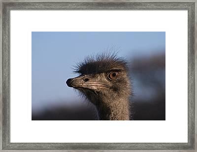 Male Ostrich Namibia Framed Print by David Kleinsasser