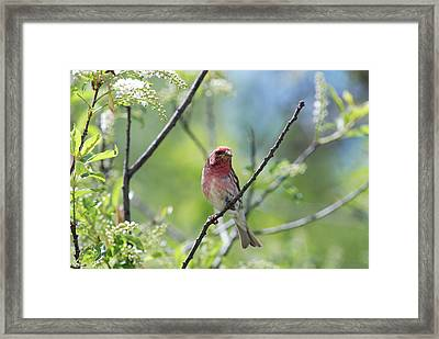 Male Purple Finch Framed Print