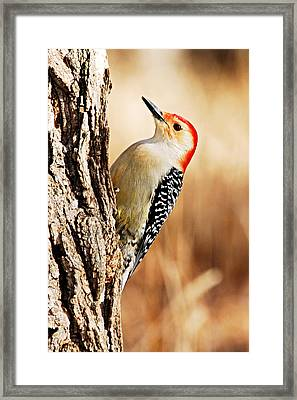 Male Red-bellied Woodpecker 3 Framed Print