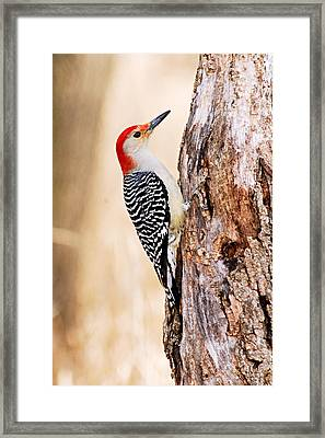 Male Red-bellied Woodpecker Framed Print