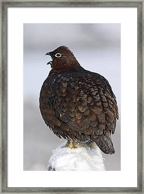 Male Red Grouse Calling Framed Print by Duncan Shaw