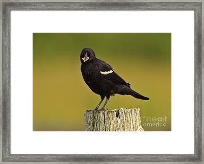 Male Red Winged Black Bird With Insect Lunch Framed Print by Inspired Nature Photography Fine Art Photography