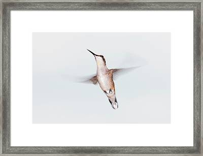 Male Ruby-throated Hummingbird Framed Print