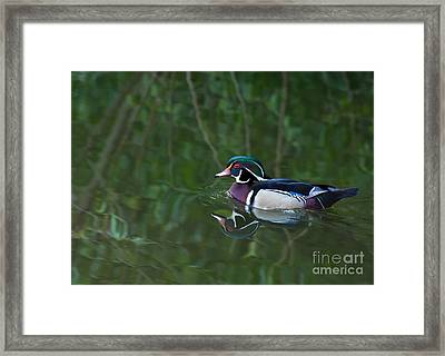 Male Wood Duck In A Forest Of Reflections Framed Print
