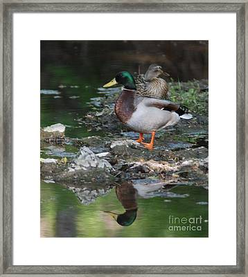 Mallard Couple Framed Print