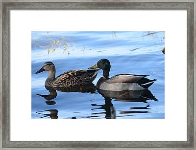 Mallard Couple Framed Print by Michael Carrothers