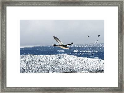 Mallard Duck - 0006 Framed Print