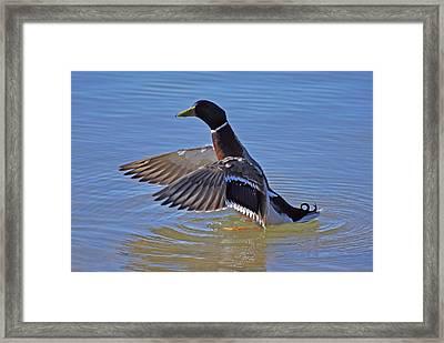 Mallard Duck Framed Print by Charles Covington