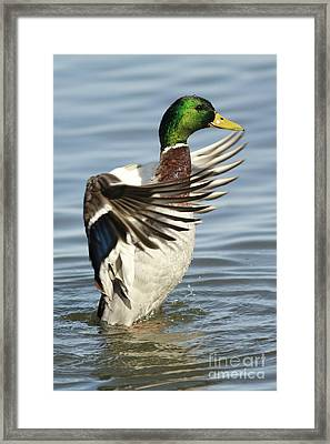 Mallard Duck Having A Flapping Good Time Framed Print