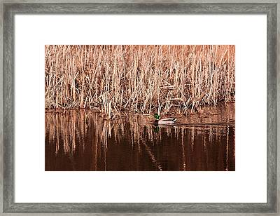 Framed Print featuring the photograph Mallard Duck by Josef Pittner