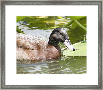 Mallard Duck Framed Print by Lisa Williams