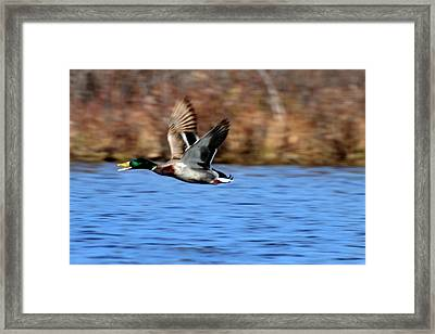 Mallard In Flight Framed Print