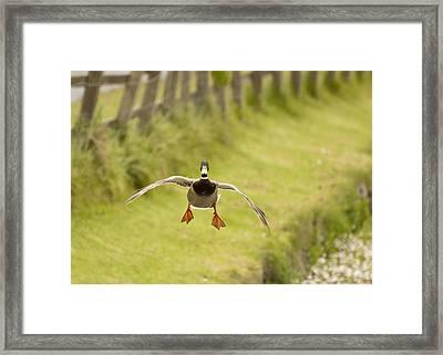 Mallard In Flight Framed Print