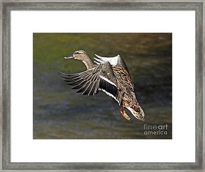 Mallard Landing Framed Print by Rodney Campbell
