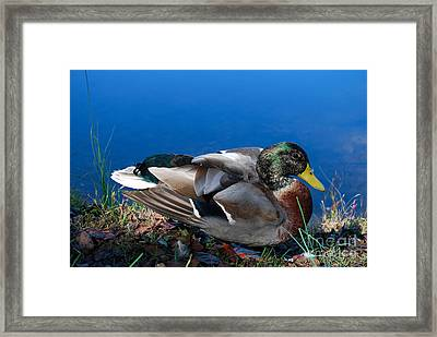 Framed Print featuring the photograph Mallard On River Bank by Eva Kaufman
