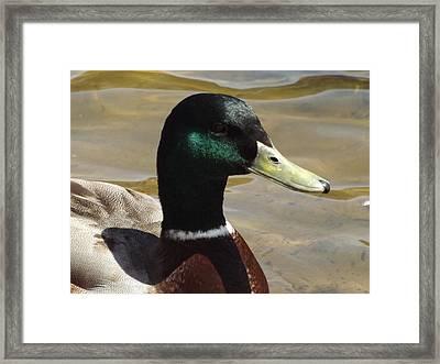 Mallard Framed Print by Pamela Stanford