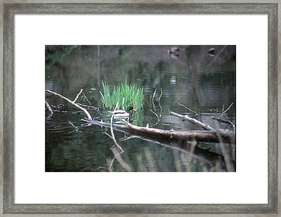 Mallard Swimming Framed Print