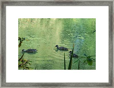 Mallards Feeding Framed Print