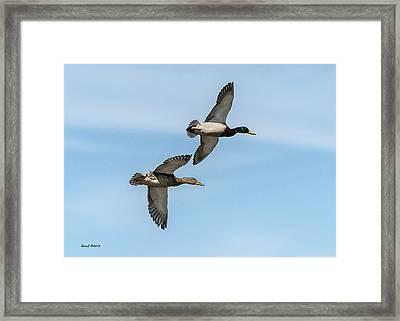 Mallards In Flight Framed Print by Stephen  Johnson