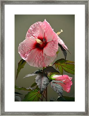 Mallow Hibiscus Framed Print by Sandi OReilly
