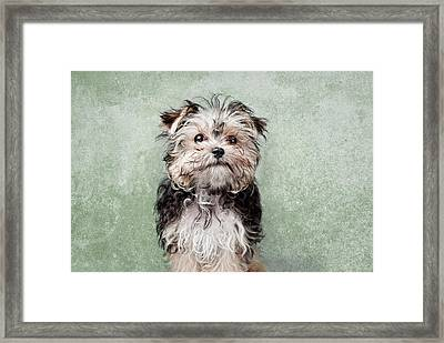 Maltese Mix On  Green Background Framed Print by Chad Latta