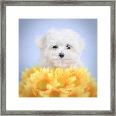 Maltese  Puppy Portrait Framed Print by Waldek Dabrowski