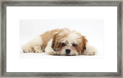 Maltese Shih-tzu Mix Puppy Lying Down Framed Print by Mark Taylor