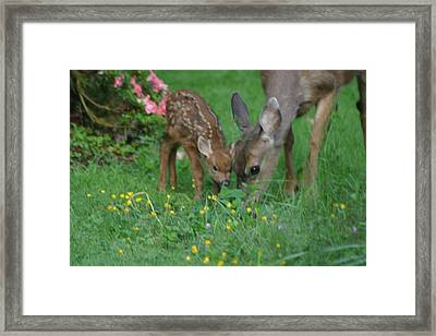 Mama And Spotted Baby Fawn Framed Print by Kym Backland