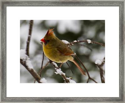 Mama Cardinal  Framed Print