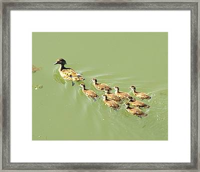Mama Duck And Ducklings Framed Print by James Granberry