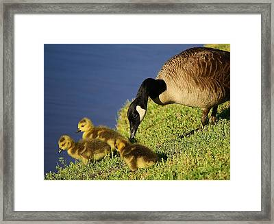 Mama Geese With Her Babies Framed Print by Paulette Thomas
