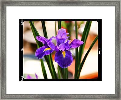 Framed Print featuring the photograph Mamas Iris by Alice Gipson