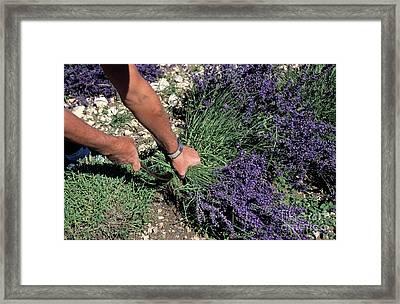 Man Harvesting Lavender Flowers In Field Framed Print by Sami Sarkis