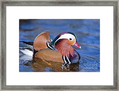 Mandarin Duck Framed Print by Andrew  Michael