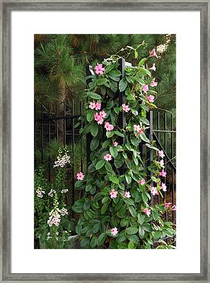 Mandevilla Vine With Pink Flowers Framed Print by Darlyne A. Murawski