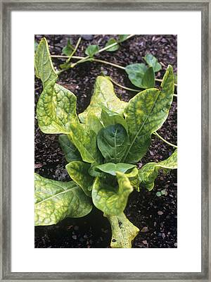 Mandrake (mandragora Officinarum) Framed Print by Adrian Thomas