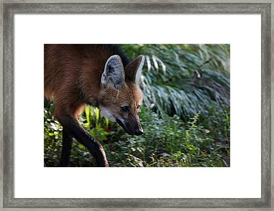 Maned Wolf Framed Print by Karol Livote
