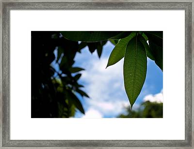 Mango Tree Leaf Framed Print by Anya Brewley schultheiss