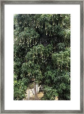 Mango Tree Framed Print by Veronique Leplat