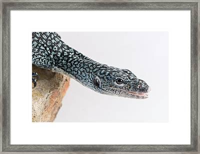 Mangrove Monitor Varanus Indicus Framed Print by Brooke Whatnall