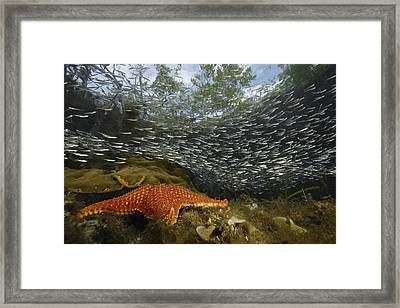 Mangrove Root Habitats Provide Shelter Framed Print by Tim Laman