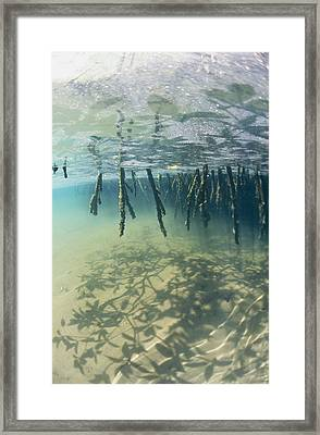 Mangrove Tree Roots Cast Shadows Framed Print by Nick Caloyianis