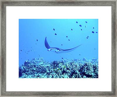 Manta Ray Framed Print by Dr Peter M Forster