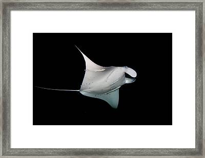 Manta Ray Framed Print by James R.D. Scott