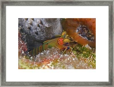 Mantis Shrimp Framed Print by Clay Coleman