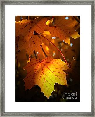 Maple At First Light Framed Print by Sue Stefanowicz