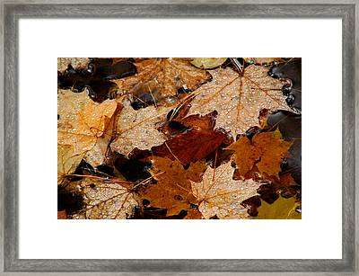 Maple Dew Drops Framed Print