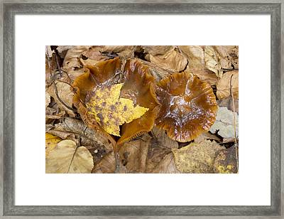 Maple Leaf And Mushrooms Framed Print by Tom Bushey