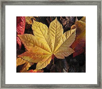 Maple Leaf Close Up  Framed Print by Robert  Perin
